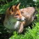 The Lazy Fox
